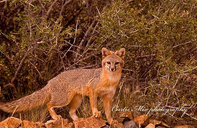Fox on the rocks.