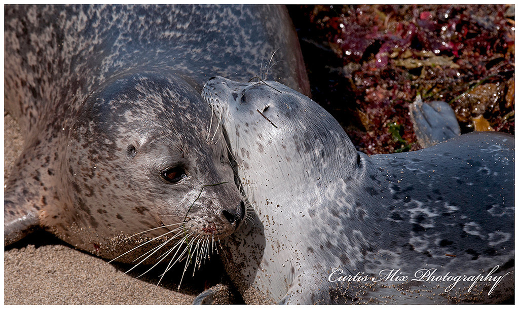 New Harbor Seal pups.