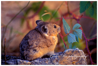 The pika, a relative of the rabbit, stores leaves in his nest for winter.