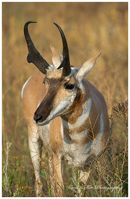 Nice buck Antelope.