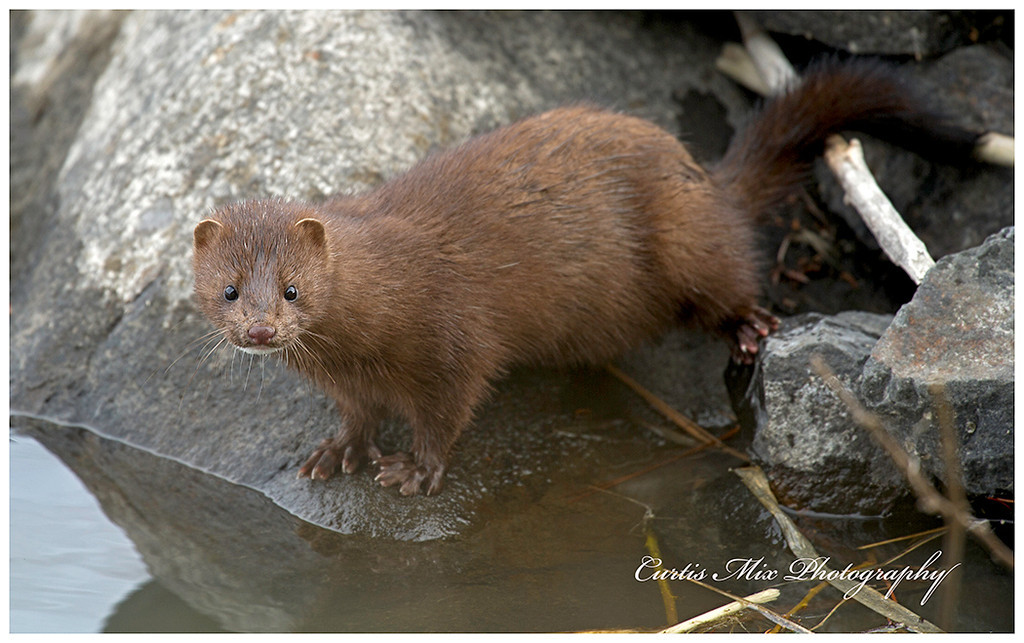 This Mink is about to dive in in the middle of winter.