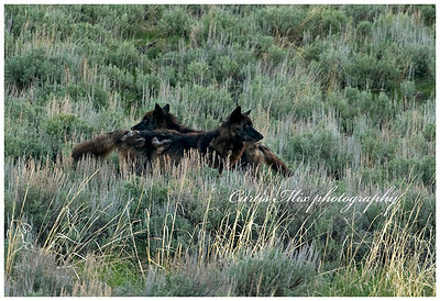 These two wolves went hunting and got too close to a coyote den. The coyote came out and chased them away.