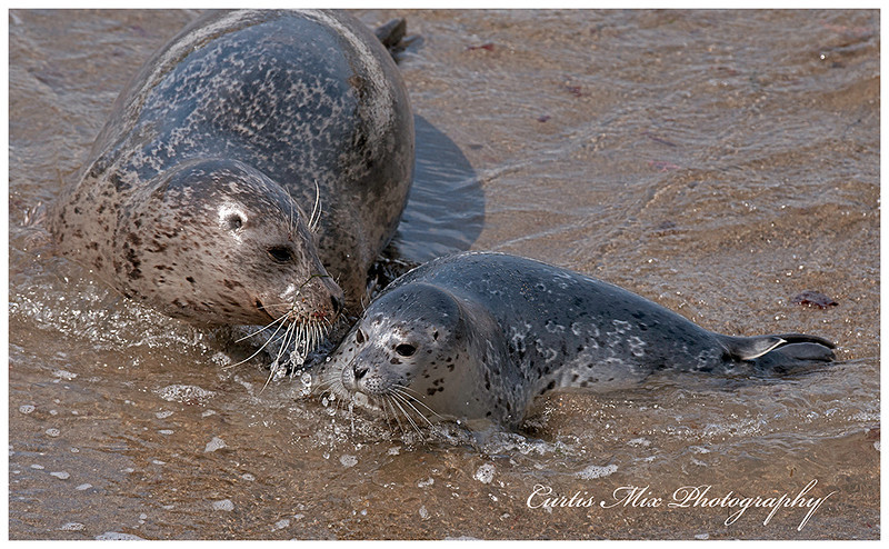 Mother and pup Harbor Seals.