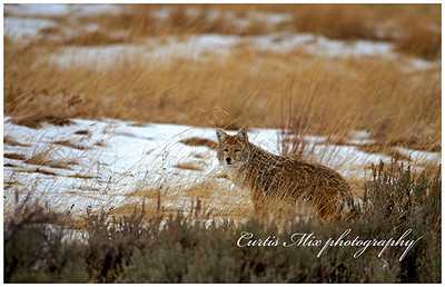 Winter coyote.