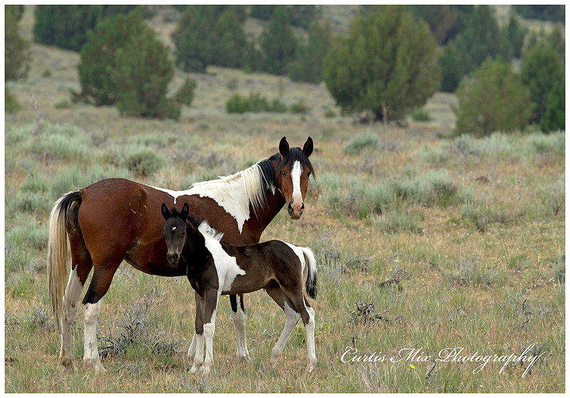 A Wild Mustang mare and her foal. This foal is so young, it's umbilical cord is still visible.