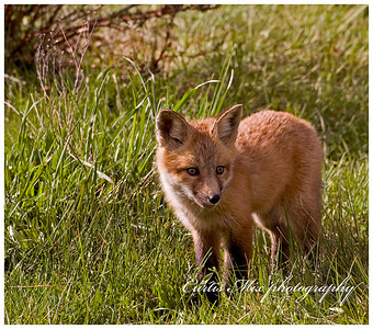 Red fox kit.