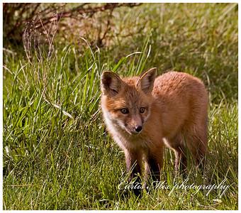 Red fox kit.