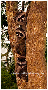 Climbers. Baby raccoons at my house.