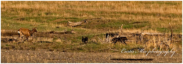 Elk chasing wolves.
