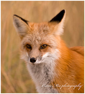 Red fox face.