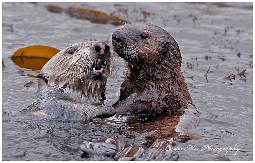 Mother and pup Sea Otters find crabs in the early dawn hours in the kelp beds.
