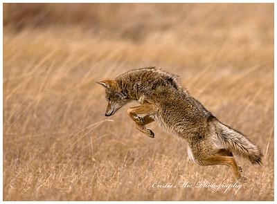Pounce! A Coyote mousing.