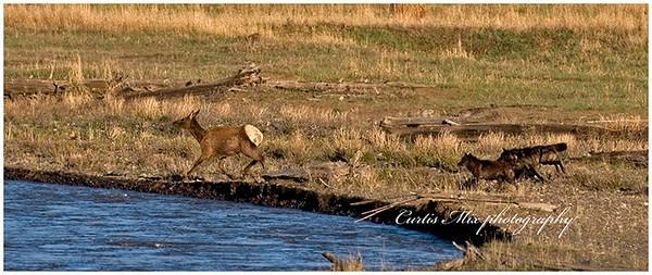 Wolves chasing elk.