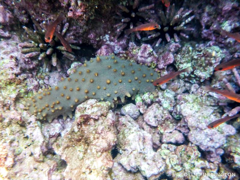 Brown sea cucumber