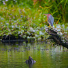 A Green Heron was on the lookout for it's next meal.