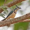 White-throated Magpie-Jay - Finca Esperanza Verde