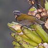 Buff-throated Saltator - Finca Esperanza Verde