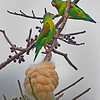 A pair of Orange-chinned parakeets - General Nestor's Farm