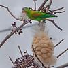Orange-chinned parakeet tearing apart a large seed pod - General Nestor's Farm