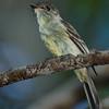 Stolid Flycatcher - Manuelo