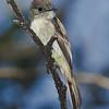 Stolid Flycatcher - Manuelito