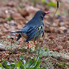 Red-legged Thrush - Chua-chua