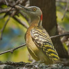 Hispaniolan Woodpecker - Carpintero - endemic