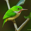 Broad-billed Tody - Barrancoli-endemic