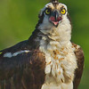 A portrait of an Osprey.
