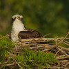 An adult Osprey possibly sitting on eggs.