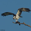 Osprey at lunch.