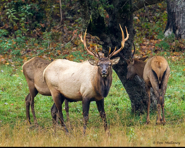 A family group of Elk - Cataloochee Valley, Great Smoky Mountain, NP