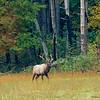 Male elk on patrol - Cataloochee Valley, Great Smoky Mountain, NP