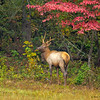 A feeding male Elk  - Cataloochee Valley, Great Smoky Mountain, NP
