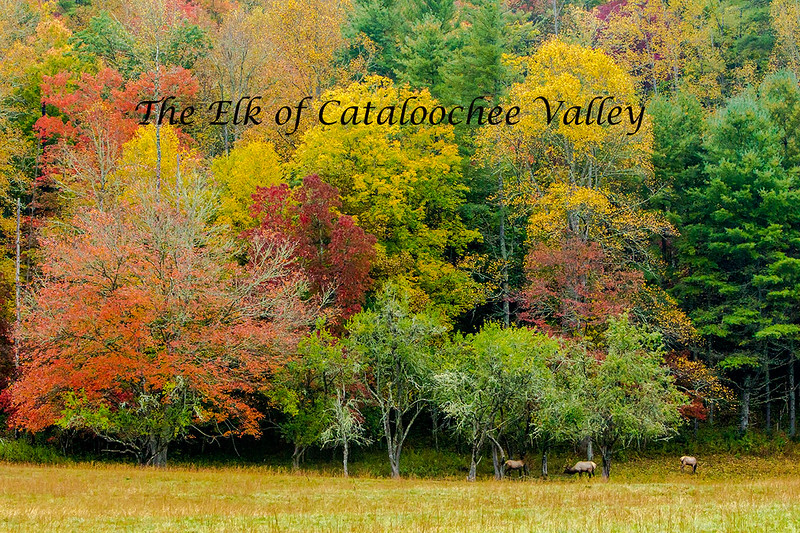 A group of Elk among some fall colors. - Cataloochee Valley, Great Smoky Mountain, NP
