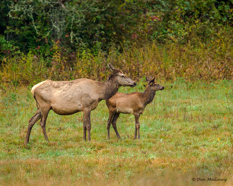 A female Elk with her young  - Cataloochee Valley, Great Smoky Mountain, NP