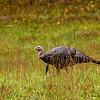 Wild Turkey -  - Cataloochee Valley, Great Smoky Mountain, NP
