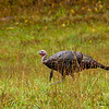 Wild Turkey -  - Cataloochee Valley, Great Smoky Mountain, NP