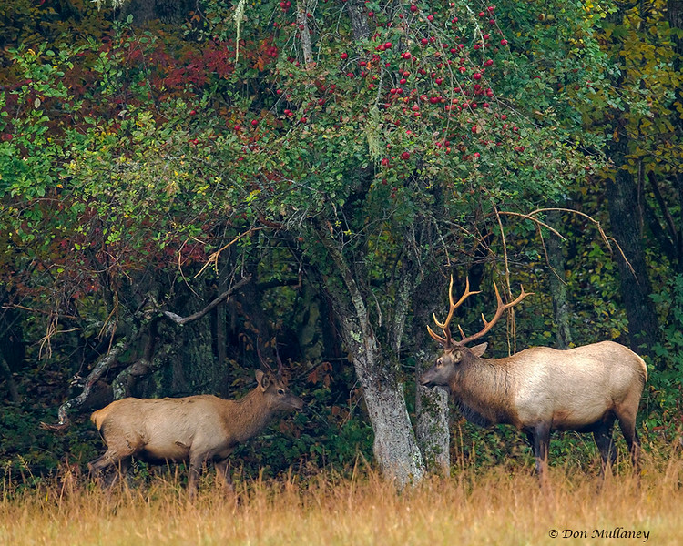 An adult male Elk and a young male  - Cataloochee Valley, Great Smoky Mountain, NP
