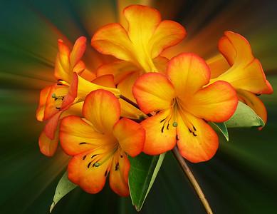 Rhododendron Vireya Simba Sunset