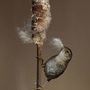 Marsh Wren on a Cattail - Victoria, Vancouver Island, BC