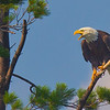 An adult Bald Eagle calling - Squam Lake, NH