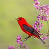 A calling male Scarlet Tanager - Lake Hope State Park, Ohio