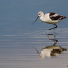 An American Avocet in non-breeding plumage - STA-2, Belle Glade, FL