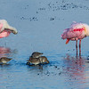 Roseate Spoonbills and Dowichers