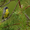 Kirtland's Warbler - near Mio, MI