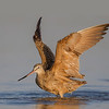 A flapping Marbled Godwit flapping it's wings. Canvas added top and right side.- Fort DeSoto, St. Petersburg, FL