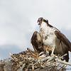 An Osprey nest- Roberts Bay, Sarasota and the Braden River, Bradenton, FL