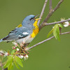 Northern Parula calling - Zaleski State Forest, Ohio
