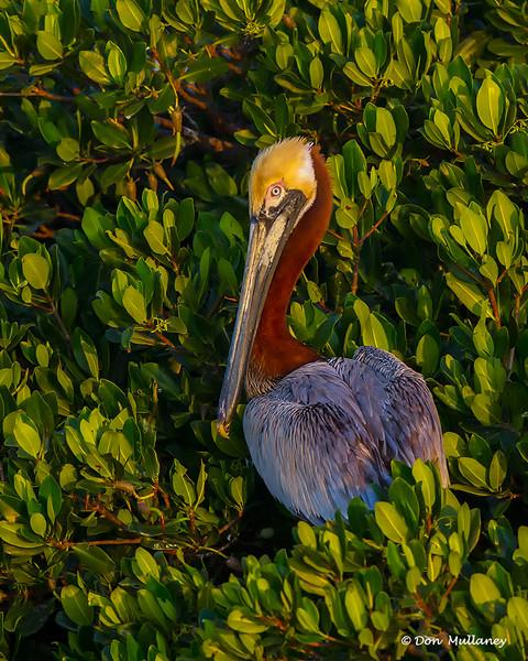 Pelican portrait- Roberts Bay, Sarasota and the Braden River, Bradenton, FL